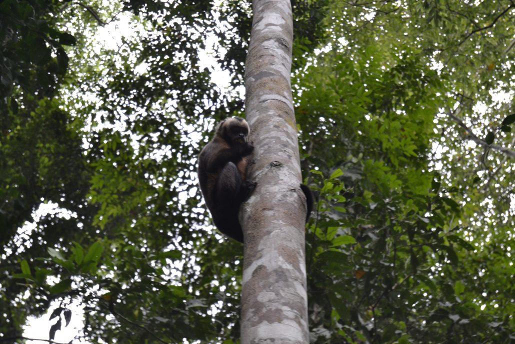 Scimmia Tambopata
