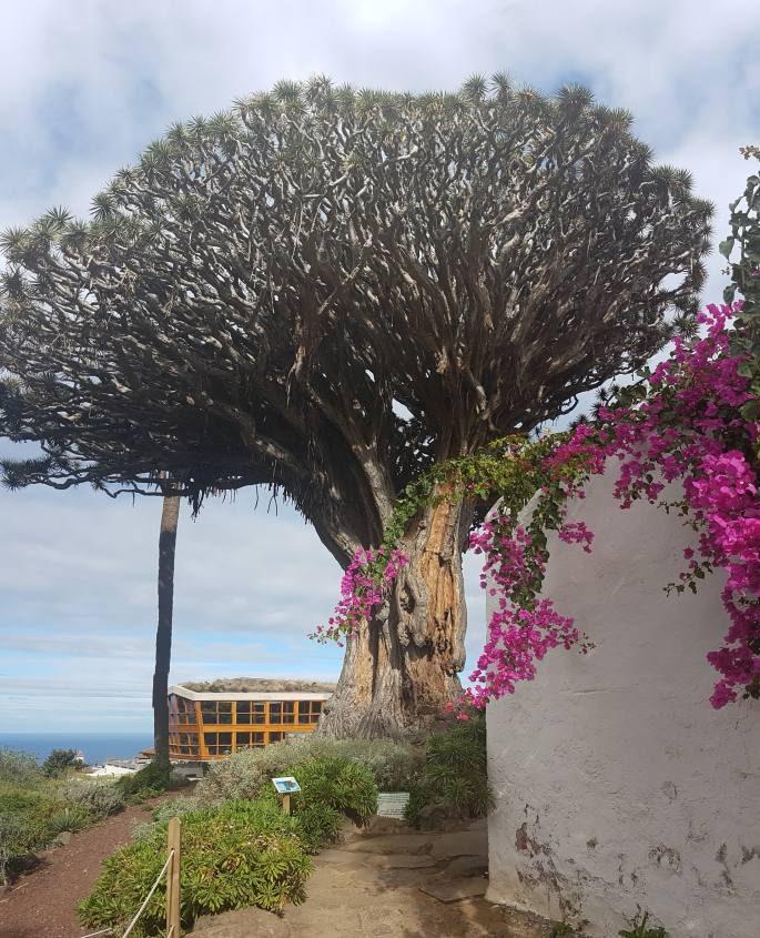 Albero Drago Millenario di Tenerife Canarie Icod de los Vinos