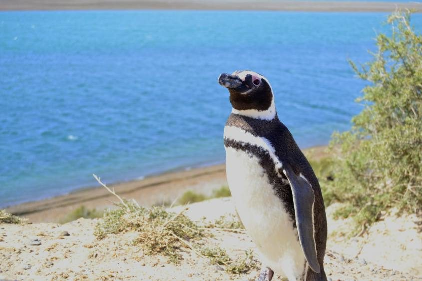 Pinguino Penisola di Valdes Puerto Madryn nella Patagonia Argentina