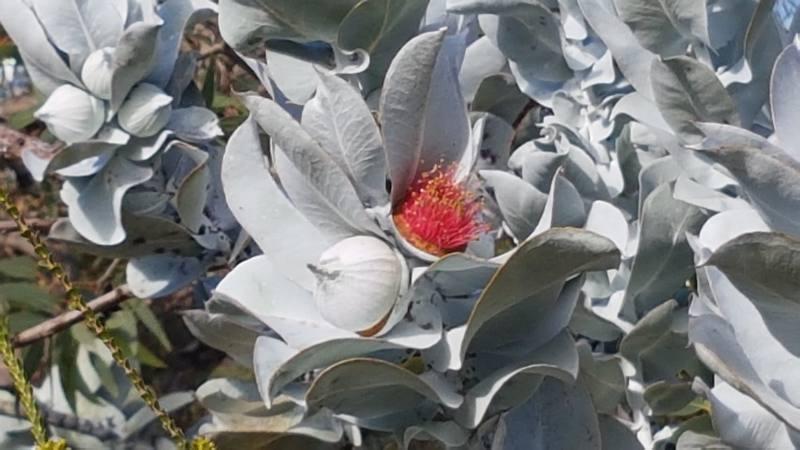 Fiore bellissimo al Kings Park di Perth