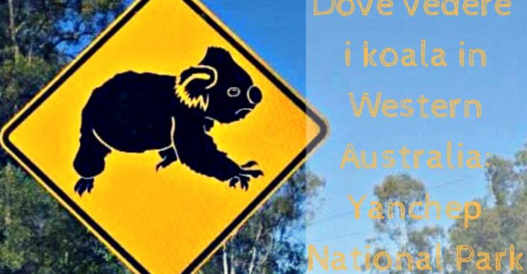 Copertina articolo Dove vedere i koala in Western Australia: Yanchep National Park