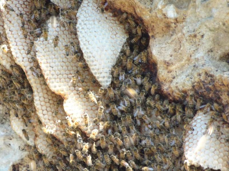 Nido gigante di api nel percorso Dwerta Mia