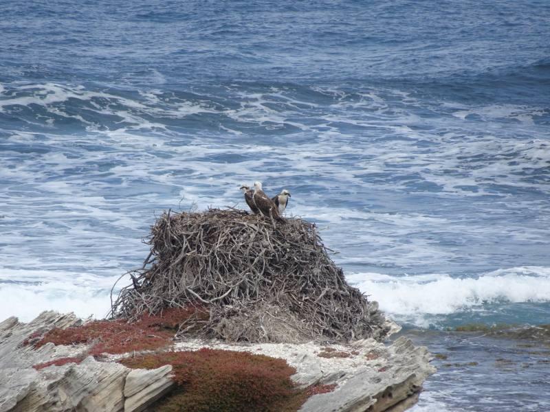 Falchi Eastern Osprey nel loro nido di Rottnest Island