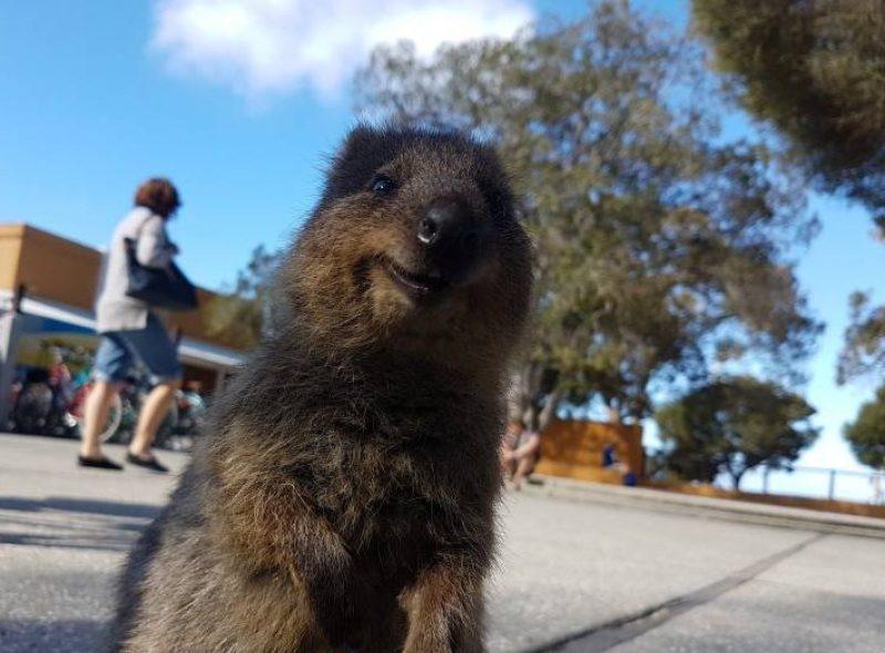 Un quokka che ride felice a Rottnest Island