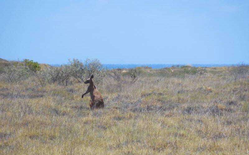 Canguro libero vicino al campeggio del Cape Range in Western Australia