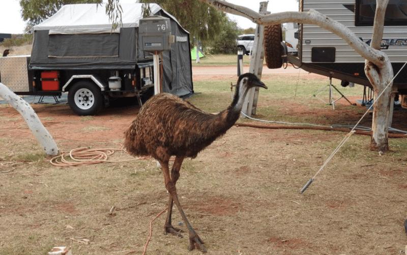 Avvistamento Emù nel campeggio RAC Caravan Park di Exmouth in Western Australia