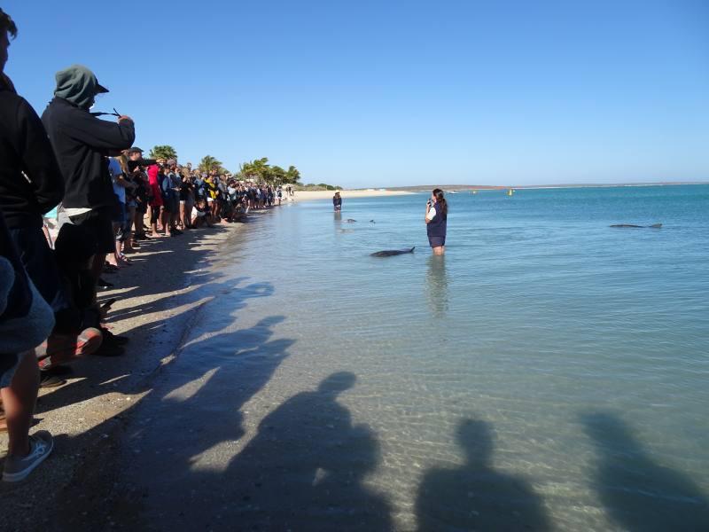 Pubblico di turisti all'incontro con i delfini a Monkey Mia a Shark Bay in Western Australia