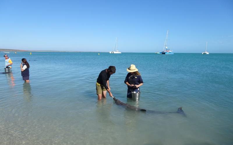 Leonardo da da mangiare ad un delfino di Monkey Mia a Shark Bay