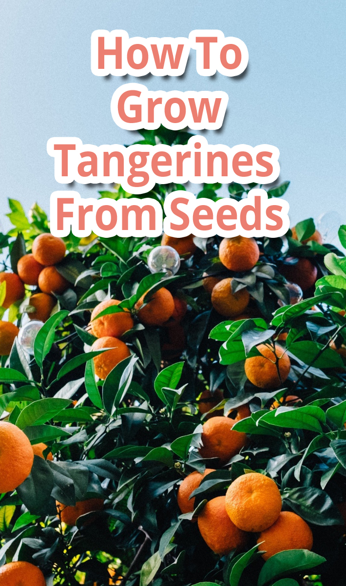 How To Grow Tangerines From Seeds