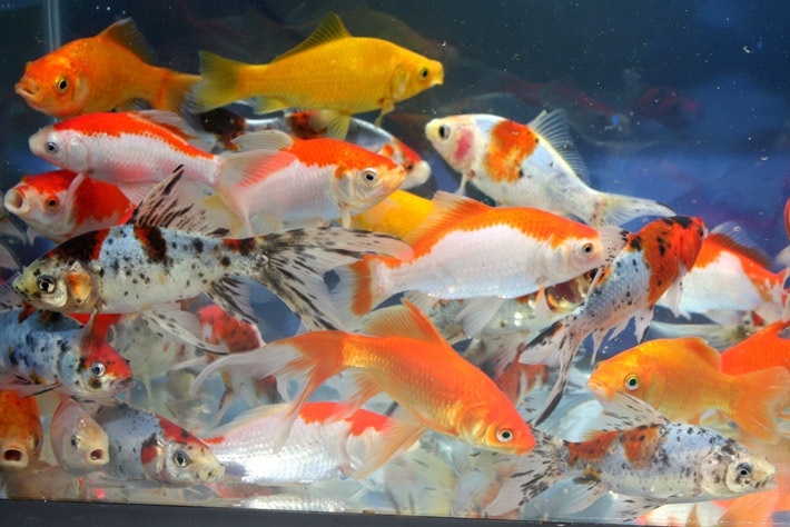 Fish Guides For Fancy And Common Goldfish