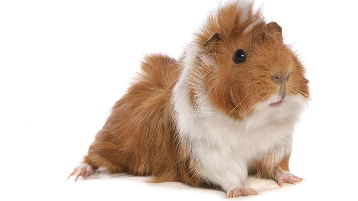 Guide To A Happy And Healthy Guinea Pig