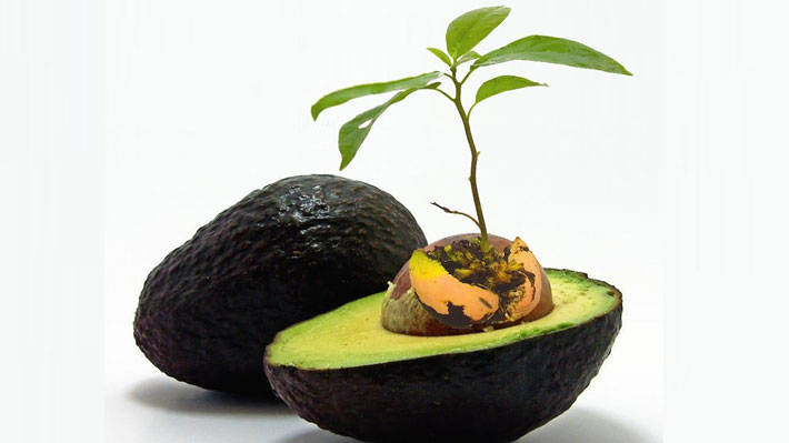 Grow An Avocado Tree In A  Pot At Home: Stop Buying