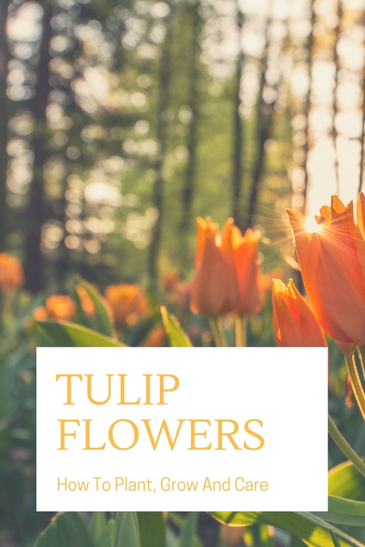 How To Plant, Grow And Care For Tulip Flowers