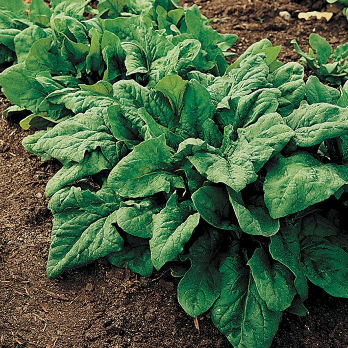 Spinach: Planting, Growing, Harvesting And Storing Spinach Plants