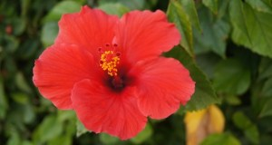 hibiscus for hair regrowth