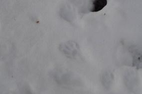 Bear Mountain - Raccoon Tracks