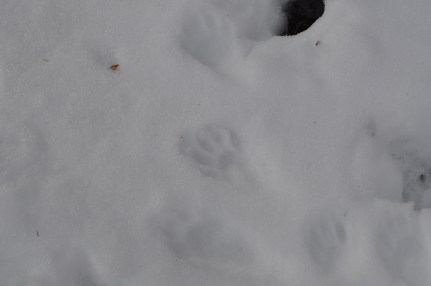 Bear Mountain - Raccoon Tracks