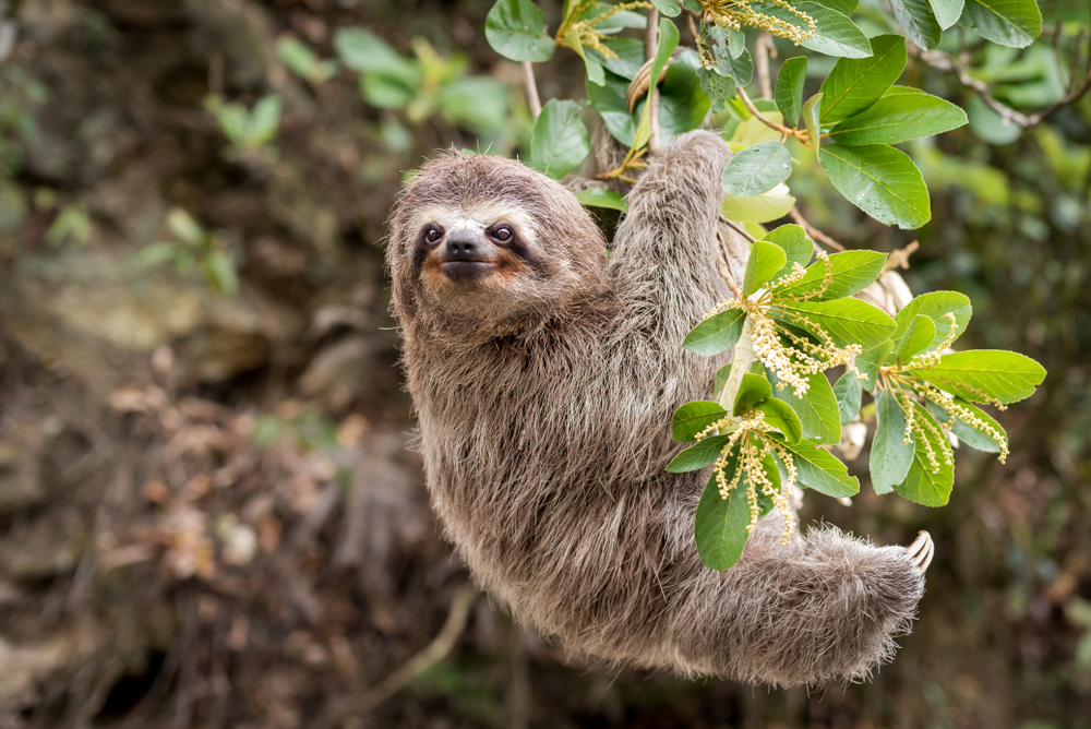 Image of a sloth, which can be found at the Universeum.