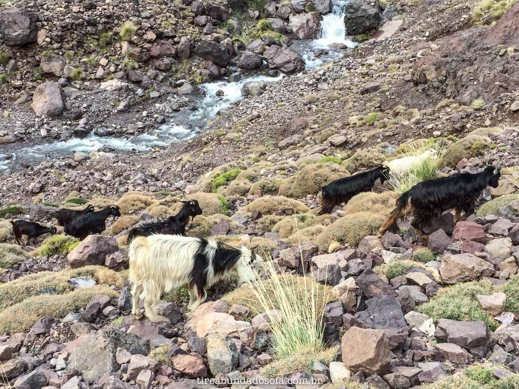 cabras durante a subida para jbel toubkal, nas cordilheiras do atlas, no marrocos