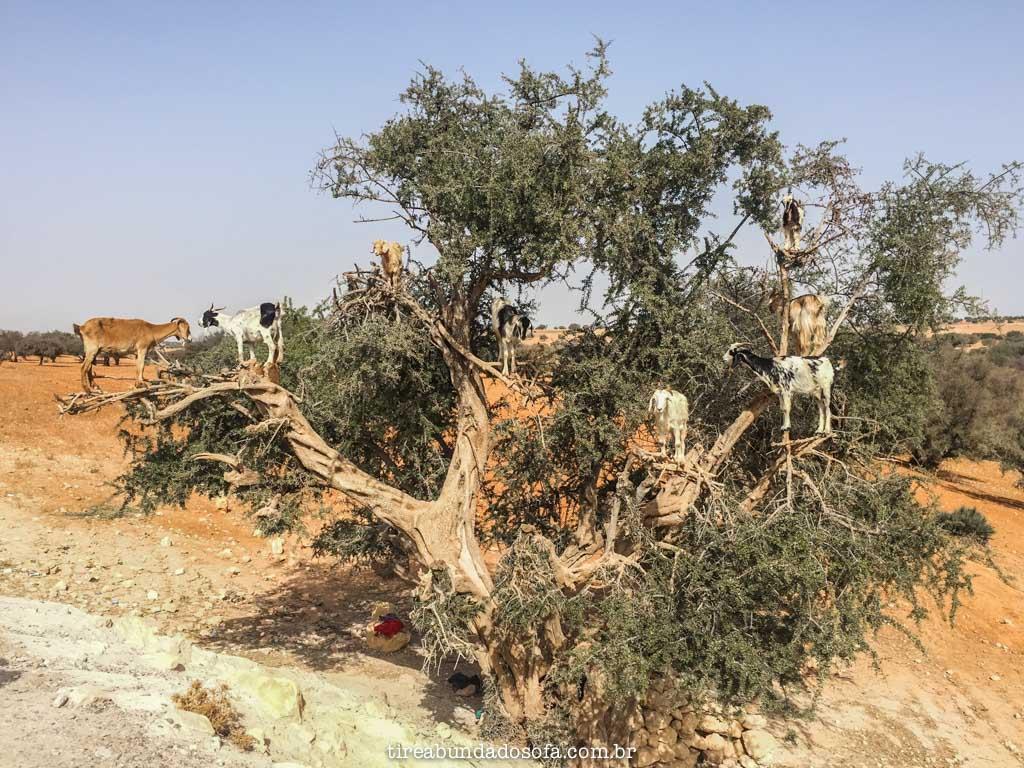 A famosa árvore de cabras, em Essaouira, Marrocos