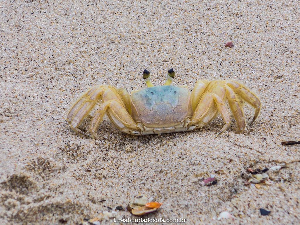 siri, animal marinho, itapoa, praias de santa catarina