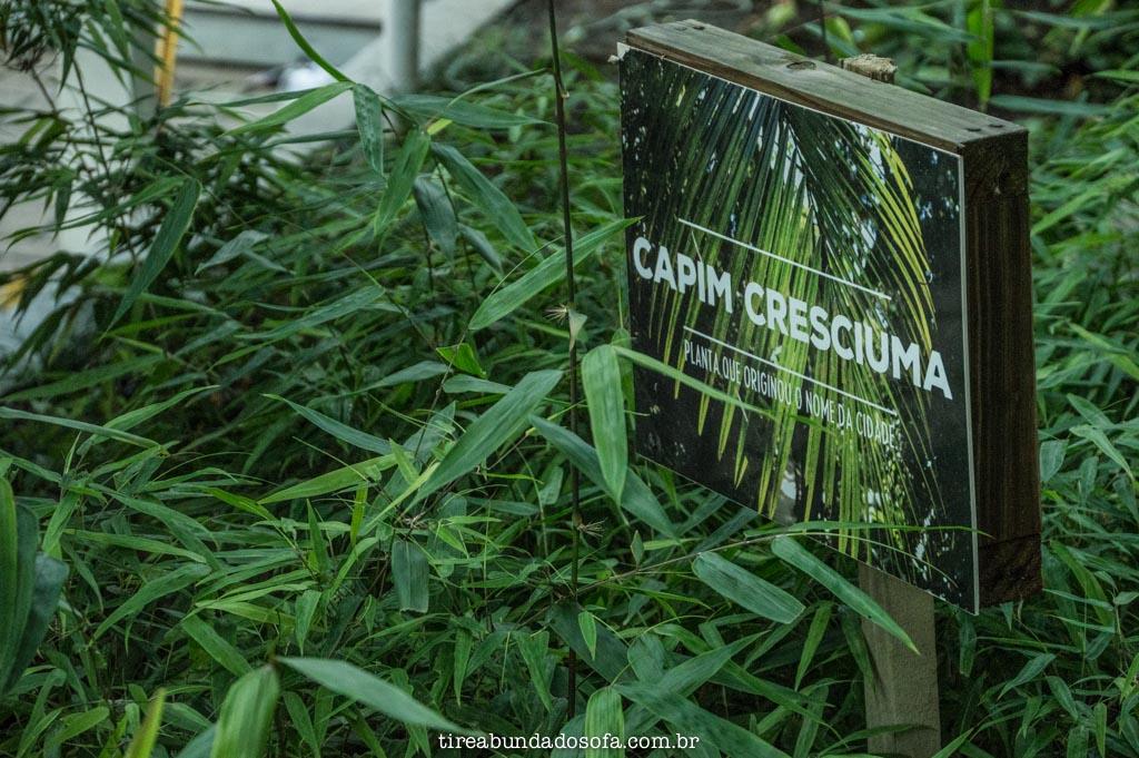 capim cresciuma, que deu nome a cidade de criciúma