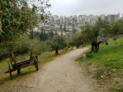 Olive trees. 21st century Nazareth in the background