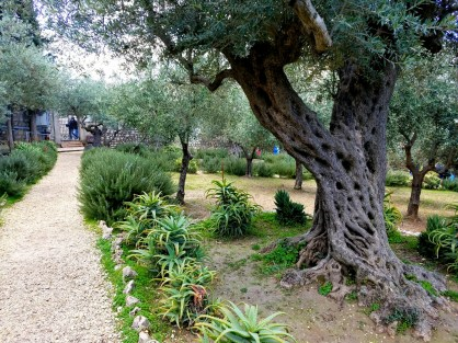 Bible study and quiet prayer time among the ancient olive trees in the Garden of Gethsemane