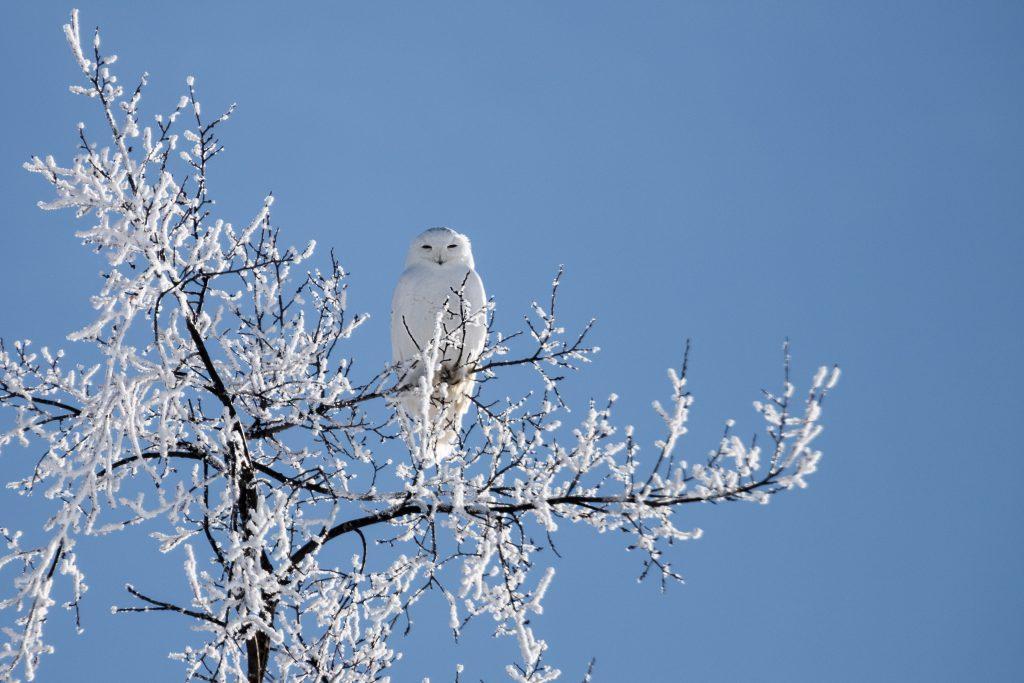 Snowy Owl Gallery