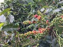 Coffee fruit on tree