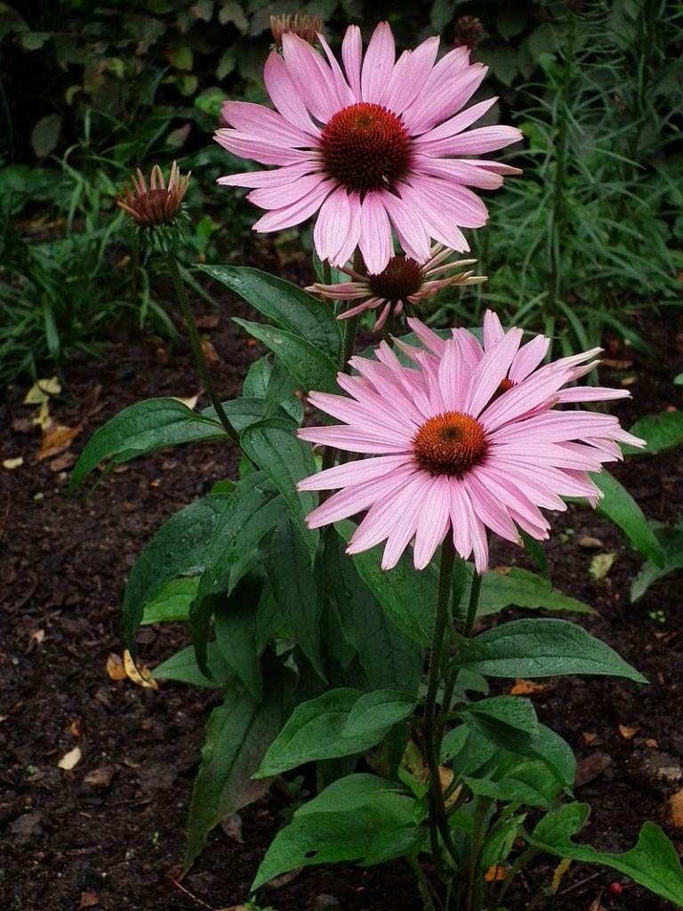 Echinacée pourpre fleur vivace comestible
