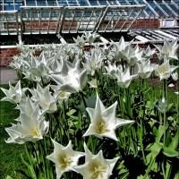 Tulips Raising The Roof At Attingham