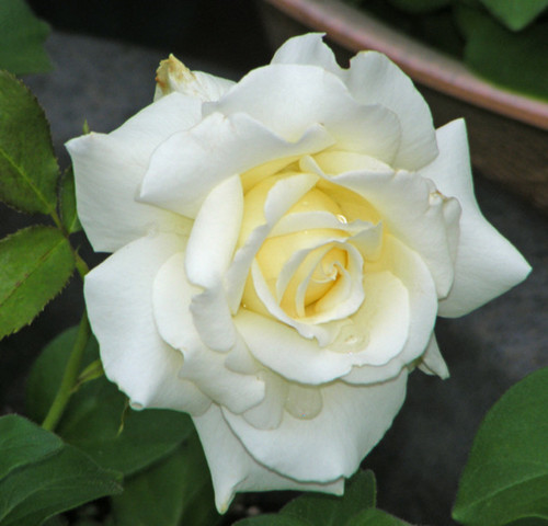 Pope Jean Paul II roses -- ordered for our French gar dent.