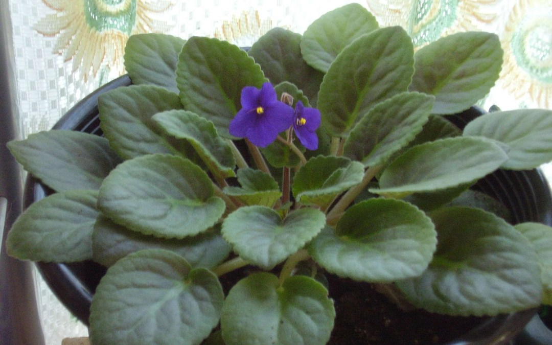 When the African Violet Blooms