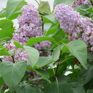 Lilacs at Chez Edmond.