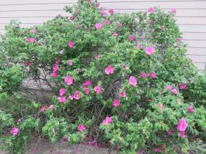 Wild Cape Breton Rose Bush
