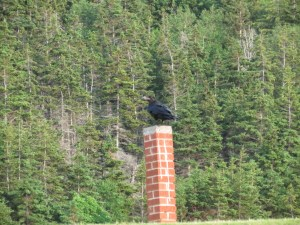 Crow at Whale Cove overlooking the graveyard.
