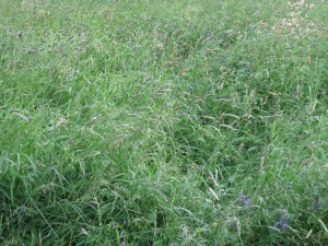Unharvested Hay Field