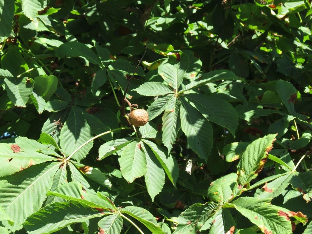 A single chestnut, almost fully ripe.