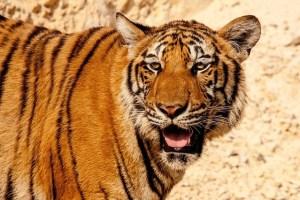 tiger-484097_640