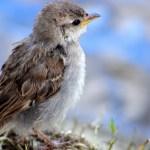 雀の餌付け、野鳥・ウグイス・カラス