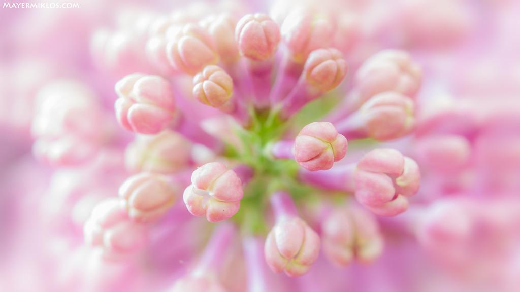 Anyák napjára: tulipán és orgona makróval