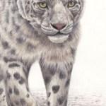 Helen Clifford - Snow Leopard