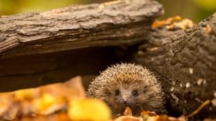 Scared hedgehog on bonfire night Title Sussex Magazine www.titlesussex.co.uk