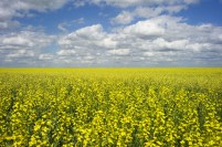 A canola crop used for making cooking oil sits in full bloom on the Canadian prairies near Fort Macleod, Alberta,