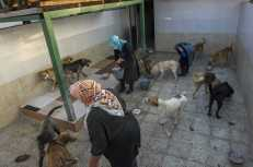 Rasht, Iran – May 2020. Dogs kept in this room, have all had some sort of arm and leg impairments. Some of them has lost an arm or a leg.