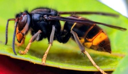 Spring Monitoring of the Asian Hornet during the Covid19-Corona Virus Pandemic