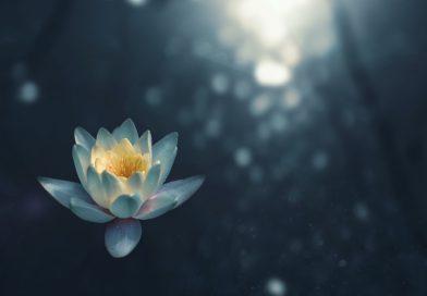 lotus flower moonlight dew faded blurry background blue
