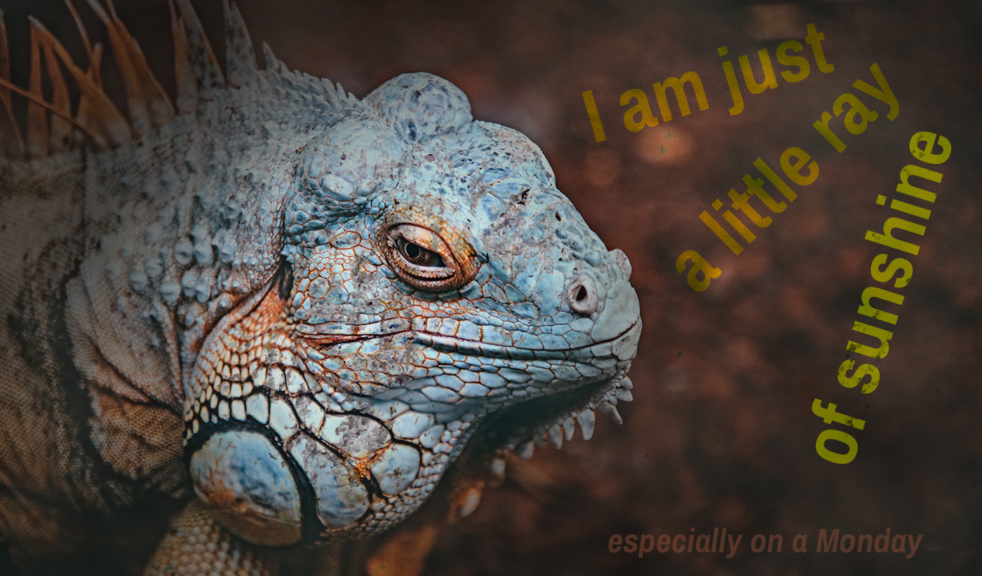 daily inspirational quote image: blue iguana looking very grumpy