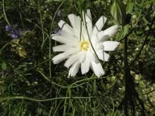 Desert Chicory